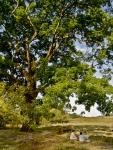Picnic acontece junto a uma imensa árvore.